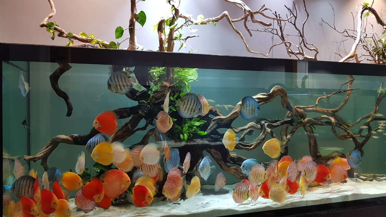 Bể cá Dĩa đẹp