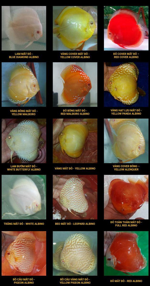 Các loại Cá Dĩa Albino