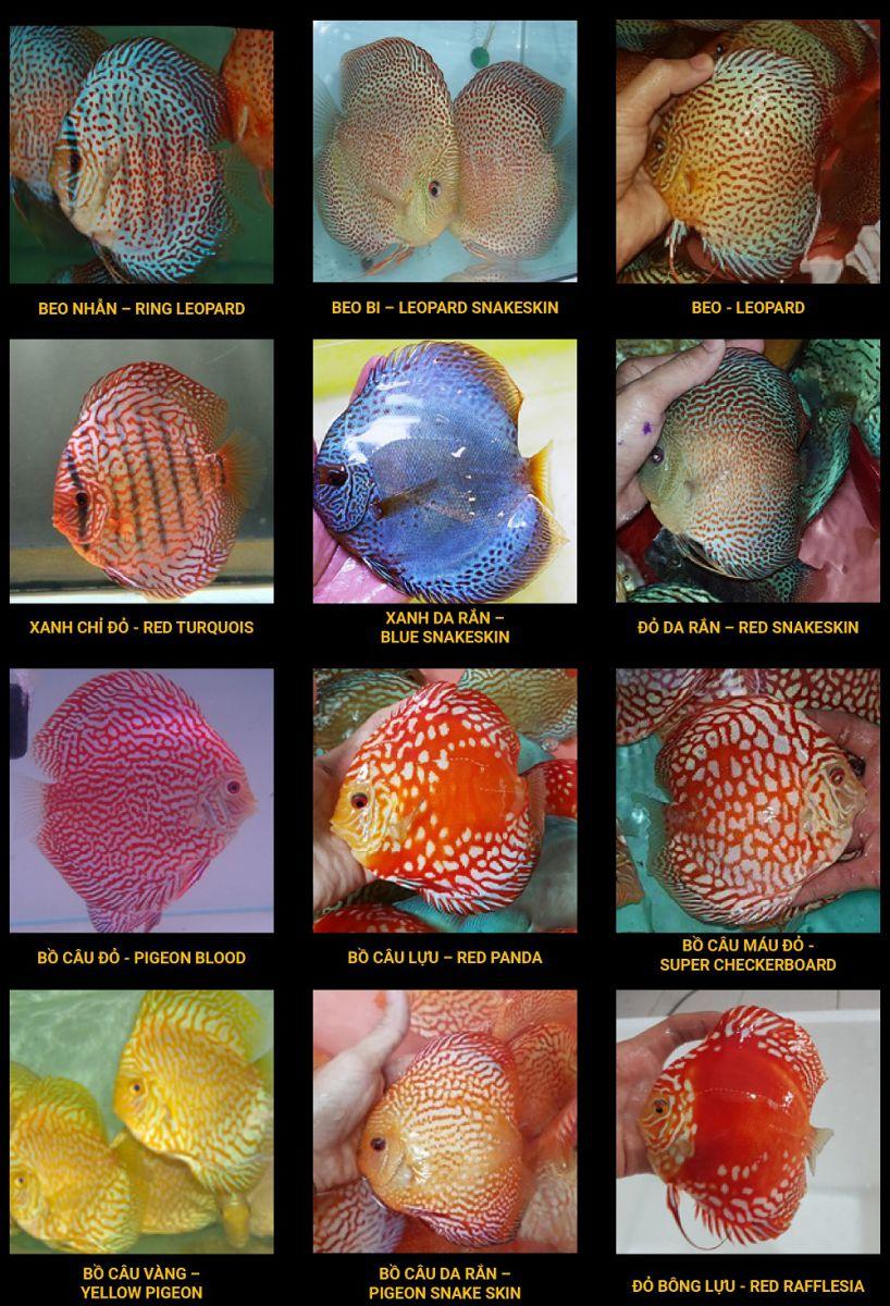 Các loại Cá Dĩa hoa văn