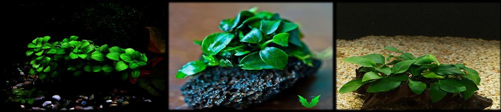 Cây ráy lá trồng thủy sinh